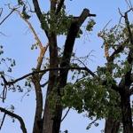 Urejamo za vas: odstranili bomo obolela drevesa